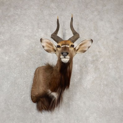 African Nyala Taxidermy Shoulder Mount #20534 For Sale @ The Taxidermy Store