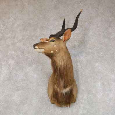 African Nyala Taxidermy Shoulder Mount #22148 For Sale @ The Taxidermy Store