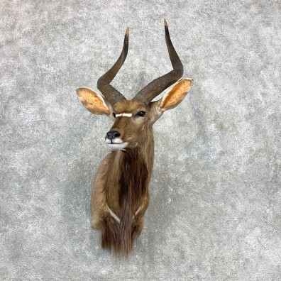 African Nyala Taxidermy Shoulder Mount #23339 For Sale @ The Taxidermy Store