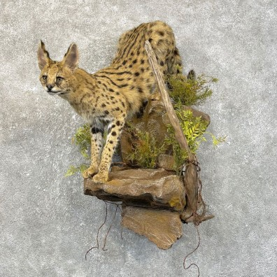 African Serval Life-Size Mount For Sale #25123 @ The Taxidermy Store