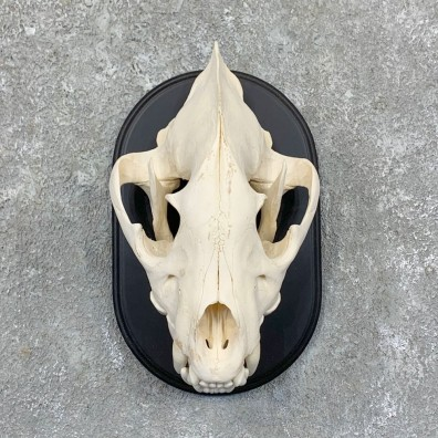 African Spotted Hyena Full Skull Taxidermy Mount #23570 For Sale @ The Taxidermy Store