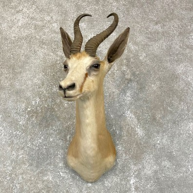 African Springbok Shoulder Mount #24190 For Sale @ The Taxidermy Store