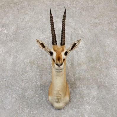 African Thomson's Gazelle Shoulder #20151 - For Sale @ The Taxidermy Store