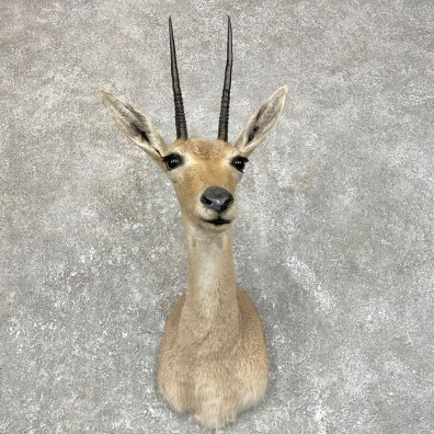 African Vaal Rhebok Shoulder Mount For Sale #24187 @ The Taxidermy Store