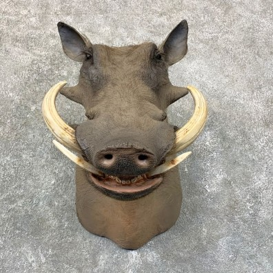 African Warthog Shoulder Mount For Sale #22761 @ The Taxidermy Store
