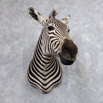African Zebra Shoulder Mount For Sale #18635 @ The Taxidermy Store
