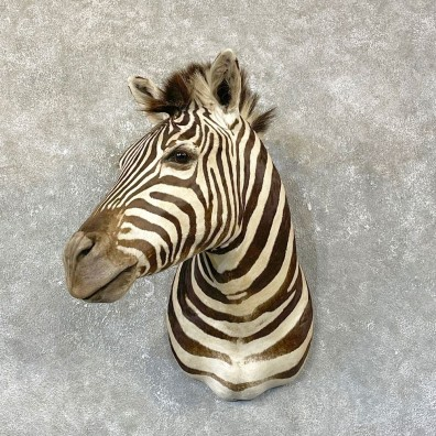 African Zebra Shoulder Mount For Sale #25135 @ The Taxidermy Store