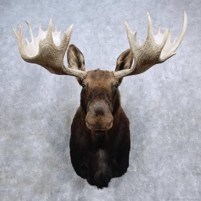 Alaskan Yukon Moose Shoulder Mount For Sale #15680 @ The Taxidermy Store