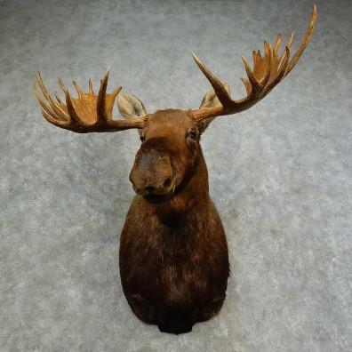 Alaskan Yukon Moose Shoulder Mount For Sale #16878 @ The Taxidermy Store