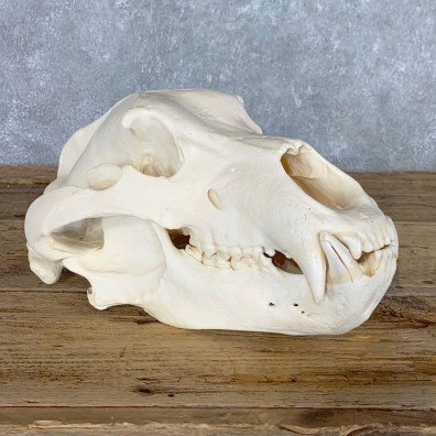Alaskan Brown Bear Full Skull Mount For Sale #20357 @ The Taxidermy Store