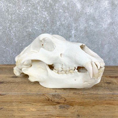 Alaskan Brown Bear Full Skull Mount For Sale #23906 @ The Taxidermy Store
