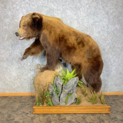 Alaskan Brown Bear Life-Size Mount For Sale #23315 @ The Taxidermy Store