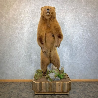Alaskan Brown Bear Life-Size Mount For Sale #23553 @ The Taxidermy Store