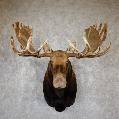 Swirled Velvet Moose Taxidermy Shoulder Mount For Sale #19400 @ The Taxidermy Store