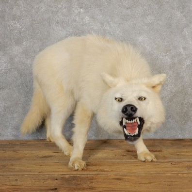 White Alaskan Wolf Taxidermy Mount For Sale #21115 @ The Taxidermy Store