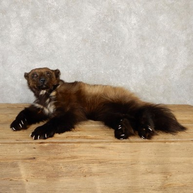 Alaskan Wolverine Life Size Mount For Sale #20119 @ The Taxidermy Store