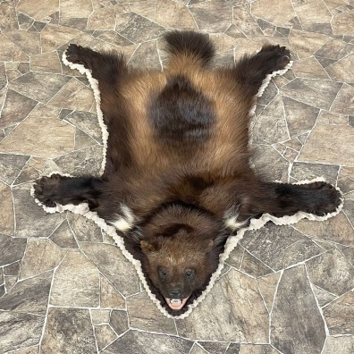 Alaskan Wolverine Rug For Sale #24609 @ The Taxidermy Store