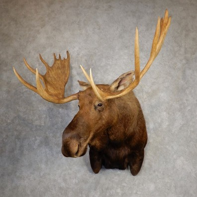Alaskan Yukon Moose Shoulder Mount For Sale #20425 @ The Taxidermy Store