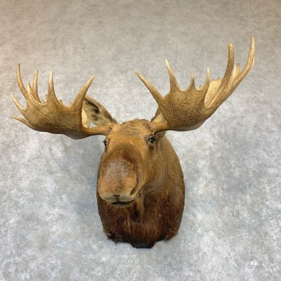 Alaskan Yukon Moose Shoulder Mount For Sale #22336 @ The Taxidermy Store