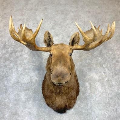 Alaskan Yukon Moose Shoulder Mount For Sale #23148 @ The Taxidermy Store