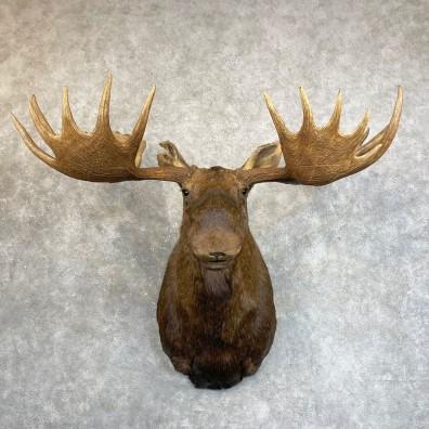 Alaskan Yukon Moose Shoulder Mount For Sale #24236 @ The Taxidermy Store