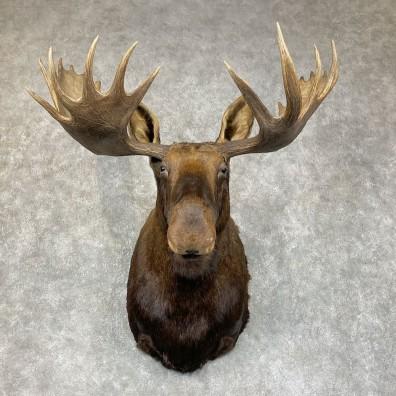 Alaskan Yukon Moose Taxidermy Shoulder Mount For Sale #25412 @ The Taxidermy Store