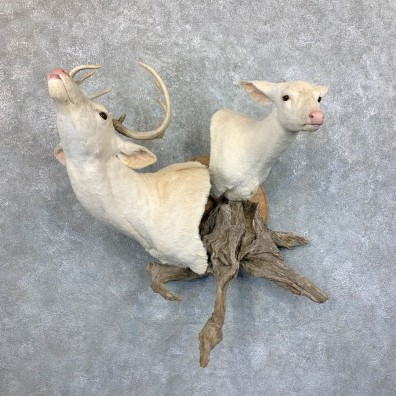 Albino Whitetail Deer Pair Wall Pedestal Mount #23590 For Sale - The Taxidermy Store