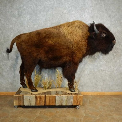 American Bison-Life-Size Mount For Sale #17014 @ The Taxidermy Store