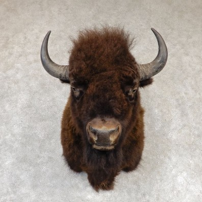 American Bison Shoulder Mount For Sale #20296 @ The Taxidermy Store