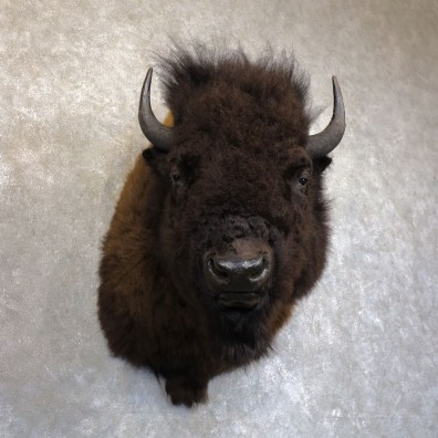 American Bison Shoulder Mount For Sale #22743 @ The Taxidermy Store