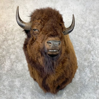 American Bison Shoulder Mount For Sale #23978 @ The Taxidermy Store