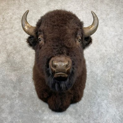 American Bison Shoulder Mount For Sale #24222 @ The Taxidermy Store