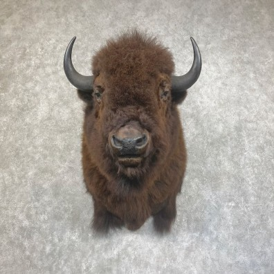American Bison Shoulder Mount For Sale #25435 @ The Taxidermy Store