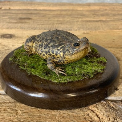 American Toad Taxidermy Mount For Sale #21372 @ The Taxidermy Store