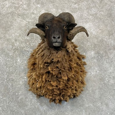 Arapawa Sheep Shoulder Mount For Sale #24991 @ The Taxidermy Store