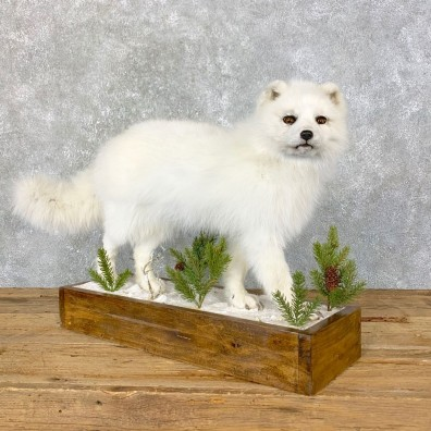 Arctic Fox Taxidermy Life-Size Mount For Sale #23974 @ The Taxidermy Store