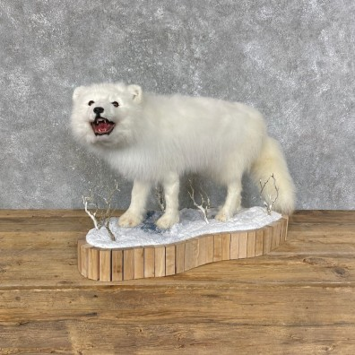 Arctic Fox Taxidermy Life-Size Mount For Sale #25234 @ The Taxidermy Store