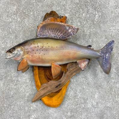 Arctic Grayling Fish Mount For Sale #22048 @ The Taxidermy Store