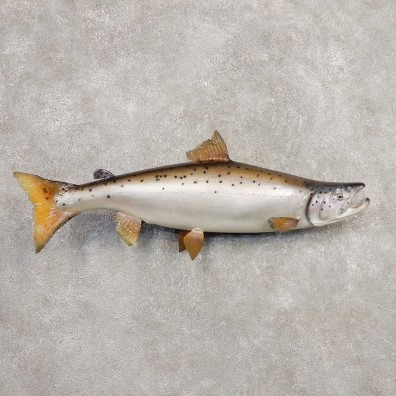 Atlantic Salmon Fish Mount For Sale #20352 @ The Taxidermy Store