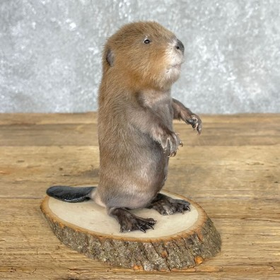 Baby North American Beaver Mount For Sale #24452 @ The Taxidermy Store