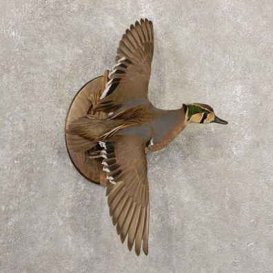 Baikal Teal Duck Bird Mount For Sale #20702 @ The Taxidermy Store