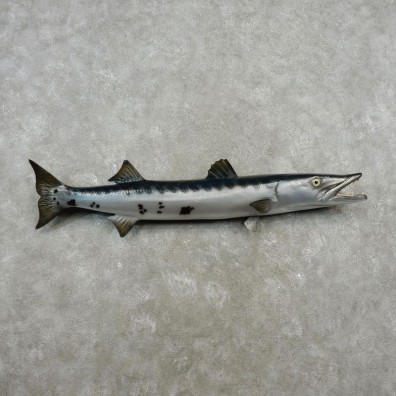 Barracuda Taxidermy Fish Mount For Sale - 17342 - The Taxidermy Store