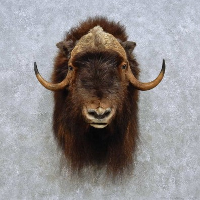 Barren Ground Muskox Shoulder Mount For Sale #15097 @ The Taxidermy Store