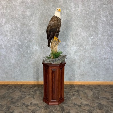 Reproduction Bald Eagle Taxidermy Bird Mount For Sale #22543 @ The Taxidermy Store