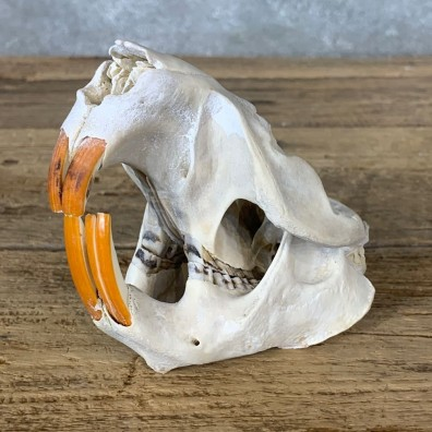 Beaver Skull Mount For Sale #22258 @ The Taxidermy Store