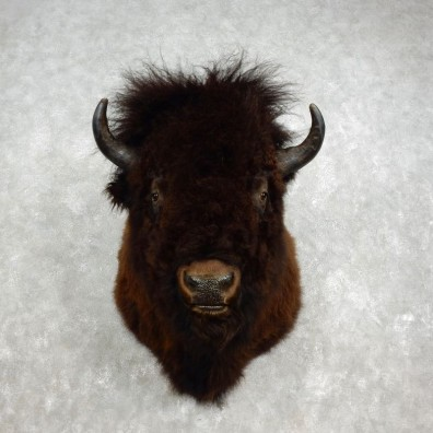 American Bison Shoulder Mount For Sale #17592 @ The Taxidermy Store