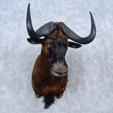 Black Wildebeest Shoulder Mount For Sale #15292 @ The Taxidermy Store