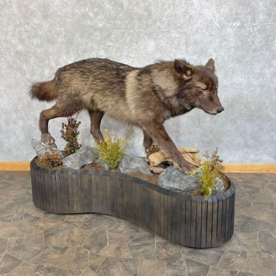 Black Alaskan Grey Wolf Life-Size Mount For Sale #24849 @ The Taxidermy Store