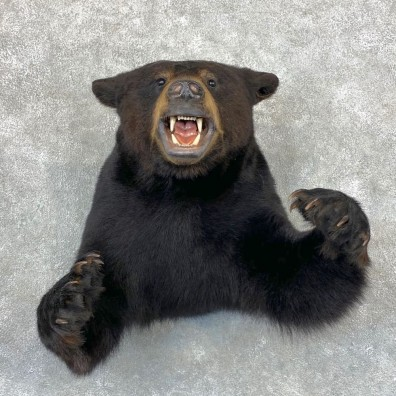 Black Bear 1/2-Life-Size Mount For Sale #23379 @ The Taxidermy Store