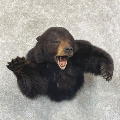 Black Bear 1/2-Life-Size Mount For Sale #24916 @ The Taxidermy Store
